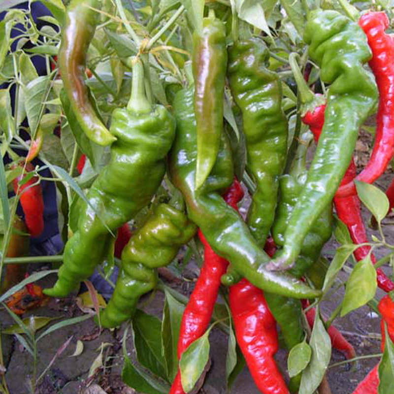 Hot Vegetable bonsai Pepper South Korea Jinfeng No.2 Courtyard View Fruit Plants Roof Potted Vegetables 100pcs