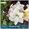ZLKING 1Pcs Huge 30 36cm Amaryllis Bonsai Bulbs Lily Not Seeds Balcony Flower Hippeastrum Bulb Hydroponic