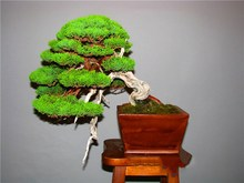 50Pcs/Bag Juniper bonsai tree potted flower plant purification air indoor and outdoor plants potted family garden decoration