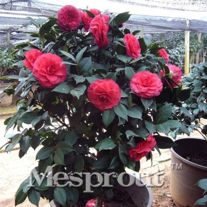 5PCS Camellia Reticulata Bonsai Flower Bonsai Diy Potted Plants, Indoor / Outdoor Pot  Germination Rate Of 95% Free Shipping