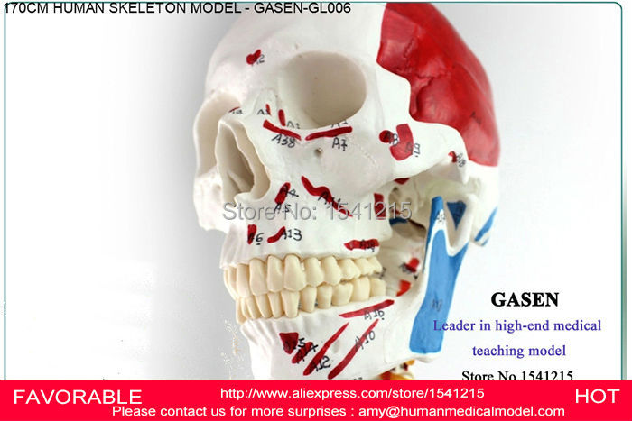 HUMAN ANATOMICAL 170CM MUSCLE SKELETON MODEL ADVANCED BODY SKELETON MODEL MUSCLE SKELETON MODEL MEDICAL SPECIMENS GASEN-GL006 human anatomical body integral organ distribution skin medical teach model school hospital hi q