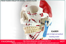 HUMAN ANATOMICAL 170CM MUSCLE SKELETON MODEL ADVANCED BODY SKELETON MODEL MUSCLE SKELETON MODEL MEDICAL SPECIMENS GASEN-GL006
