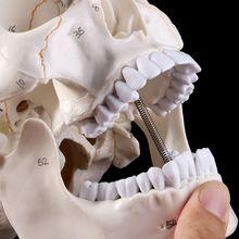 Модель человеческого черепа в натуральную величину, анатомическая анатомия, медицинское обучение, скелетная голова, Обучающие принадлежности