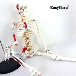 Authentische Deluxe 85CM Menschlichen Manikin Modell mit Rückenmark Modell von Medizinische Skeleton Medizinische Lehre