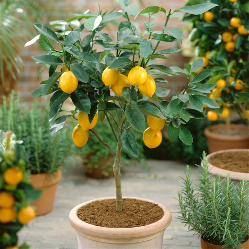 buy 20seeds four seasons potted lemon