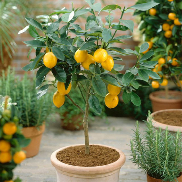 Patio lemon tree for Limone quattro stagioni