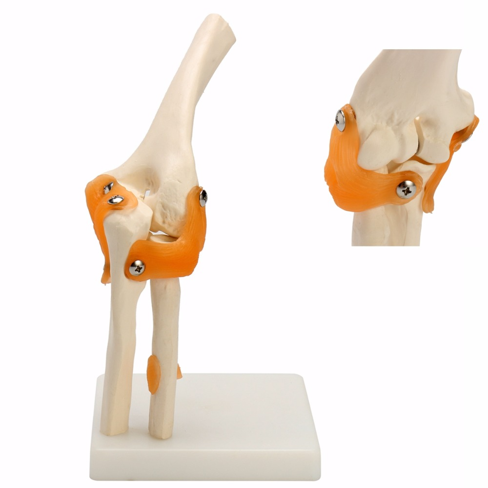 Human Elbow Joint Model Anatomical Anatomy Elbow Joint Medical Model Orthopedics