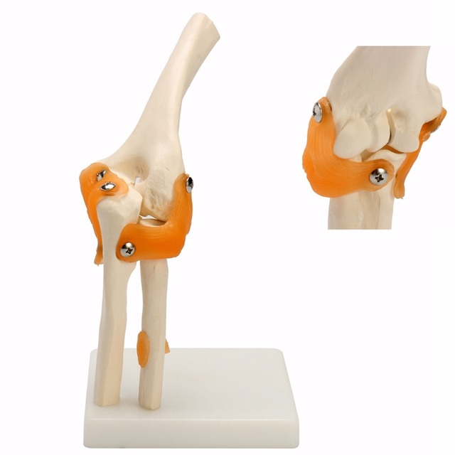 Human Elbow Joint Model Anatomical Anatomy Elbow Joint Medical Model