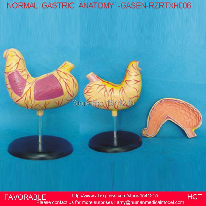 HUMAN STOMACH MODEL, STOMACH AND SECTION MODEL,ANATOMICAL ANATOMY STOMACH MEDICAL MODEL DIGESTIVE SYSTEM ORGAN-GASEN-RZRTXH006 human anatomical body integral organ distribution skin medical teach model school hospital hi q