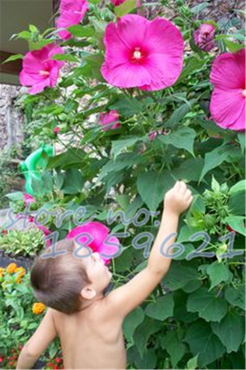 Promotion! 200pcs giant Hibiscus seeds 25 kinds HIBISCUS ROSA ...