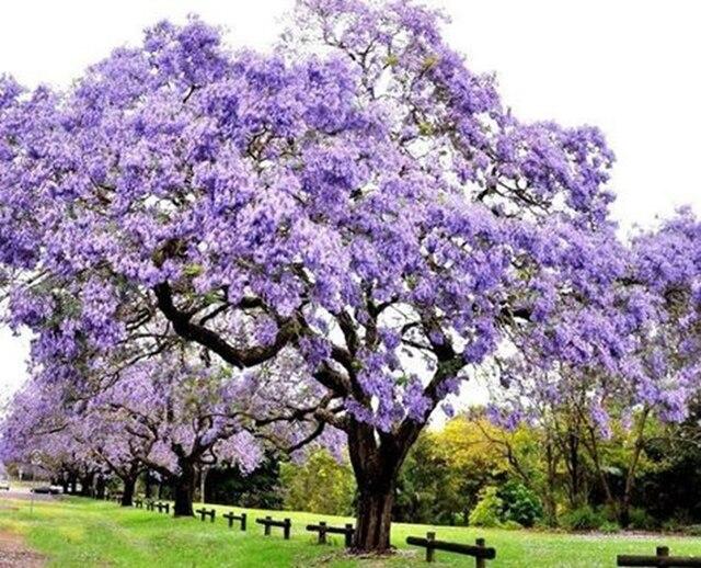 1000 pcs/ bag Bonsai Paulownia Outdoor Royal Empress Flore Tree Plants Home Garden Potted Plants 4