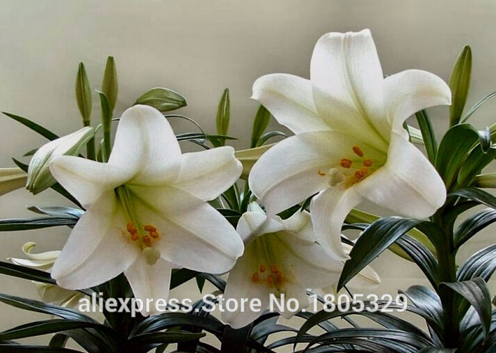 lily seeds,Free shipping cheap perfume lily seeds, mi R