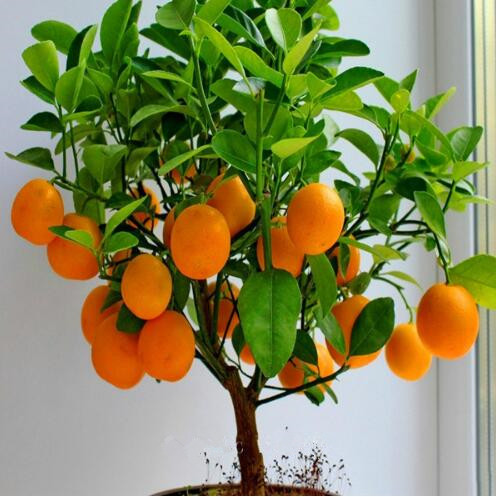 Fruit Seeds Orange Tree Seeds Dwarf Washington Navel Grow Indoors Or Outdoors 30pcs+ AA
