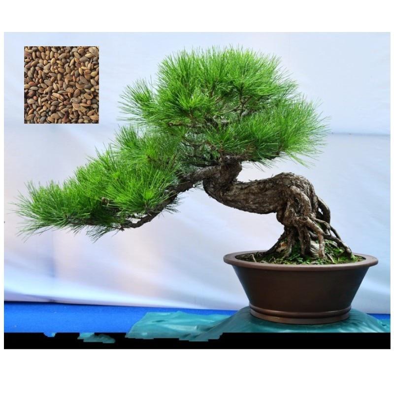 Pine Tree Seeds, bonsai Pinus Thunbergii Seeds,Teach Y