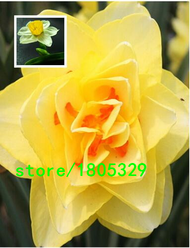 Narcissus Seeds Free Shipping Cheap Daffodil Seeds,Da T