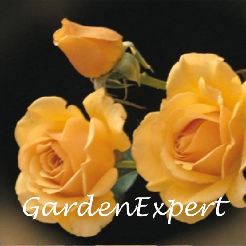 200 шт. Amber Queen роза Семена Редкие семена розы Карликовые деревья Семена многолетних ...