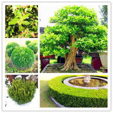 Big Sale!!!50 Pcs Bonsai Yellow Poplar Chinese Boxwood Bonsai For Families Absorb Formaldehyde Bonsai Germination Rate 95%(China)