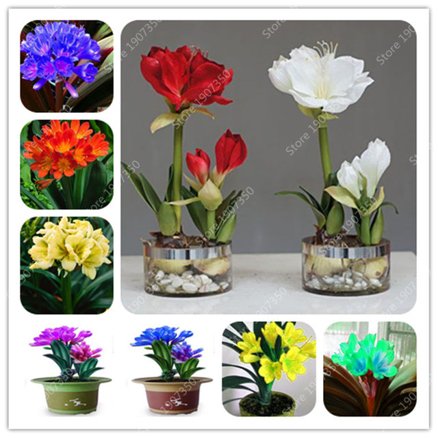 100 Pcs Gorgeous Clivia bonsai (Kaffir Lily ),Rare Bonsai Flower plant,Indoor Plant Clivia Miniata Flower flores for Home Garden