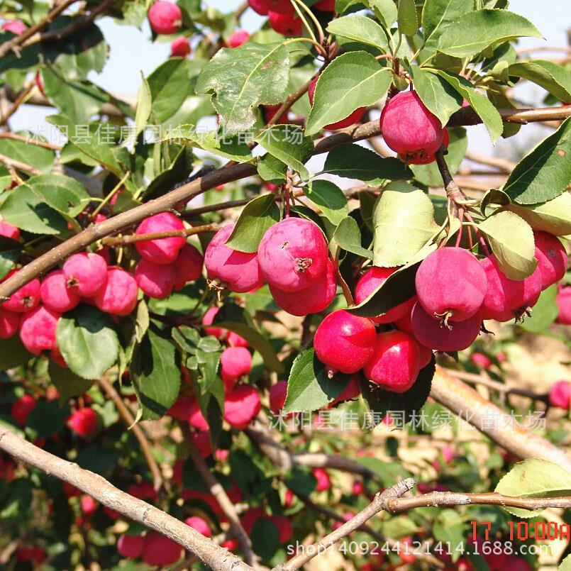 Arbre bonsaï plante Huailai Malus Begonia mer rouge taux de germination des plantes emplacements réels 200 g/paquet
