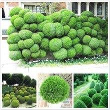 50pcs courtyard juniper balls  Outdoor bonsai tree  Perennial plants for home garden decor supplies Best packaging