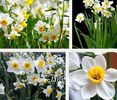 Daffodils seeds - 100 particles flower seeds