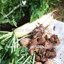 Vegetable Seeds Lunar White Carrot 200 Seeds - Tender,Coreless,Sweet bonsai carrot vegetable(China)