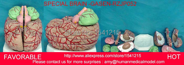 HUMAN ANATOMY MODEL,MEDICAL TEACHING MODEL,BBRAIN MODEL MEDICAL TEACHING SUPPLIES,BRAIN ANATOMICAL MODEL-GASEN-RZJP052 human head anatomical model brain model medical science teaching supplies brain skull brain anatomical model gasen den029