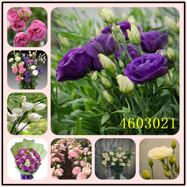100 PCS Eustoma Perennial Flowering Plants Balcony Potted Flowers,Lisianthus For Pot Planters Survival Rate Is Very High
