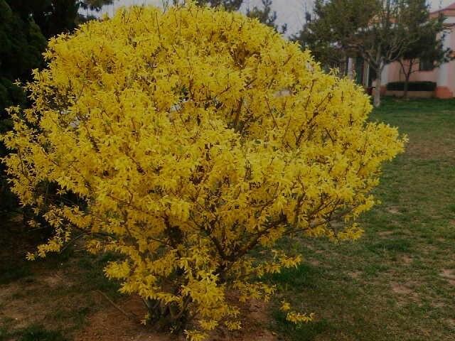 50pc japanese gold forsythia seed perennial golden yellow flowers 50pc japanese gold forsythia seed perennial golden yellow flowers beautiful plant mightylinksfo