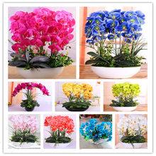 Rare Orchid Seeds, Rare Phalaenopsis Seeds, 100pcs/pack