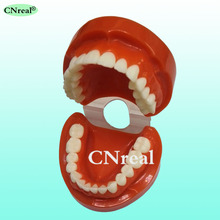 1 pc Dental Teeth Model Orthodontic Standard Anatomical Denture Free Shipping iso anatomical larynx model with toungue and teeth laryngeal model