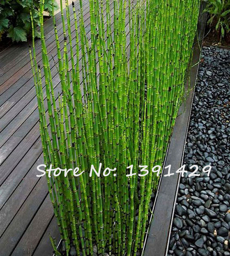 50PCS Fresh Moso Bamboo Seeds Sprout 99% Bambu Bambusa Lako Tree Seeds DIY Home Garden Decoration Bonsai Houseplants * Gifts