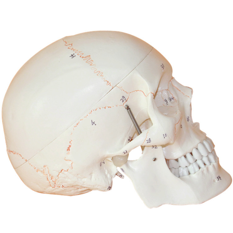 Mini Skull Human Anatomical Anatomy Head Medical Model Convenient
