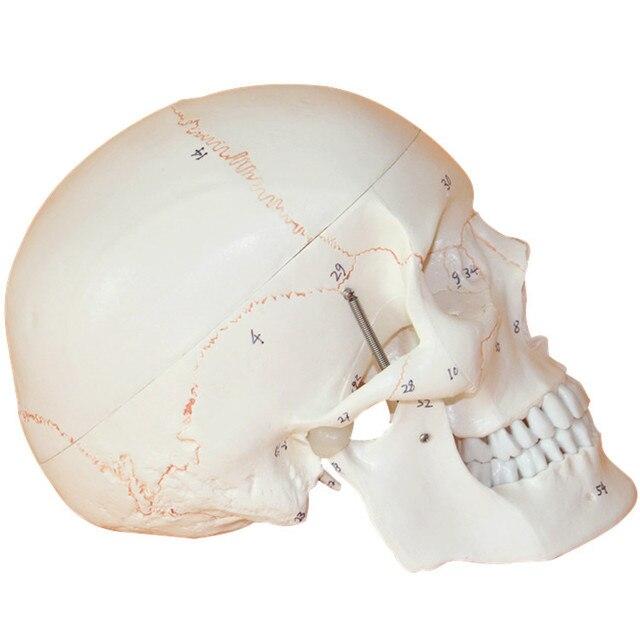Aliexpress.com: Comprar Modelo de Cráneo Humano cráneo Modelo ...