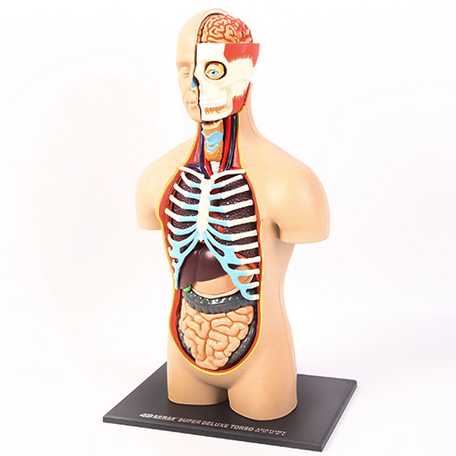 Torso anatomy model