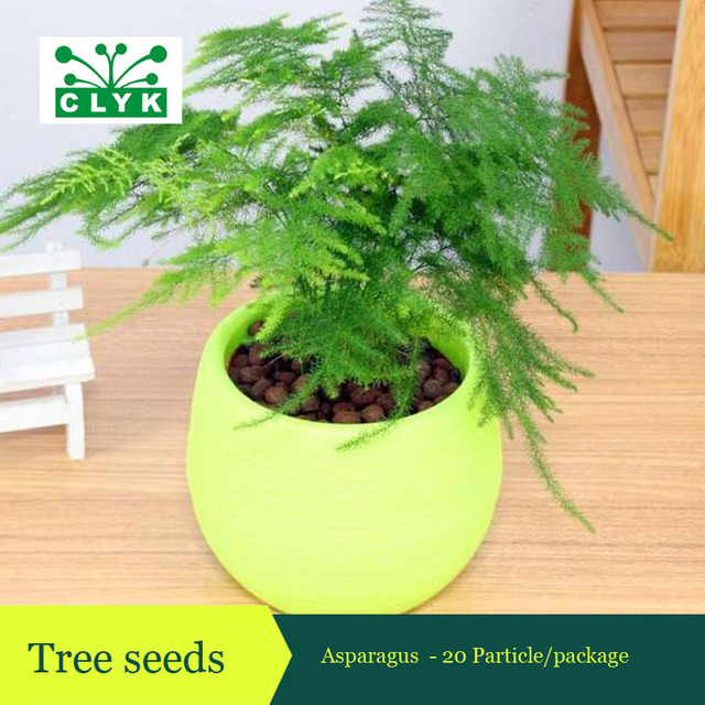 Asparagus Seeds Indoor Small Bonsai Plant Home Garden DIY Plant Tree Seeds  20pcs/bag