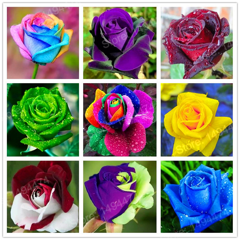 Hot Sale! 200pcs Rare rose seeds colorful flower seeds special rainbow rose seeds popular garden flower Seeds Perennial Bush