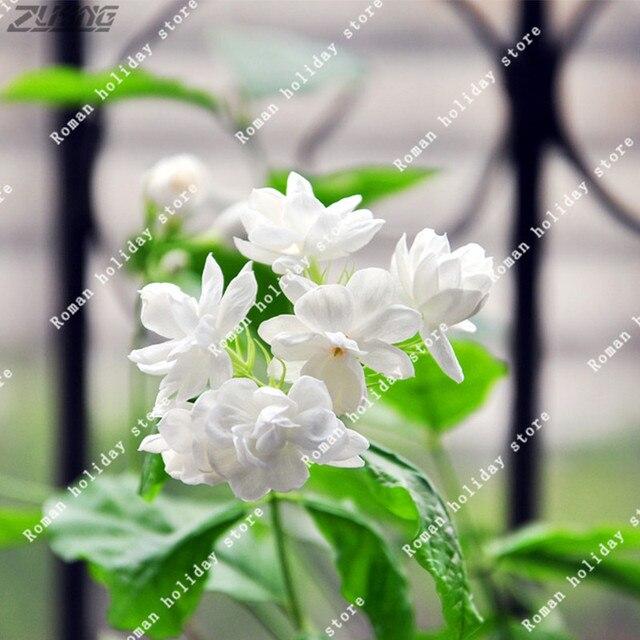 ZLKING 20 Stücke Chinesische Reine Weiße Jasmin Samen Aroma ...