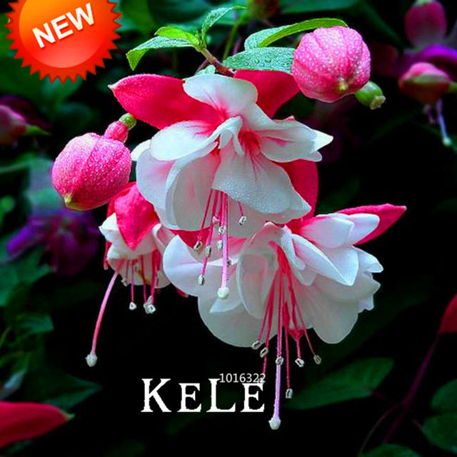 Online shop new 2018pink purple bell flowers fuchsia bonsai potted image mightylinksfo
