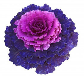 Kale Flower Seeds (500 Pieces)