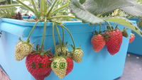 6 Hole Cultivation Box Soilless Cultivation Hydroponics Hydroponic Balcony Vegetables Strawberry