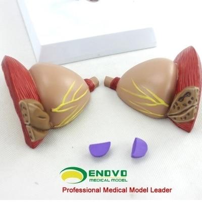 Modèle anatomique de la Prostate la prostate peut être divisée en feuille modèle dexamen de la prostate BPH achats gratuits