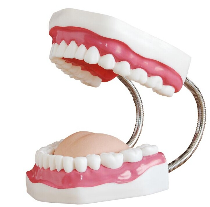 Adult Teeth Model 6 Times Oral Models Tooth With Tongue For Kindergarten Child Early Teaching Study Health Care magical science teeth tooth teaching model 1 1 scale adult oral standard typodont demonstration with 28pcs teeth fixed immovable