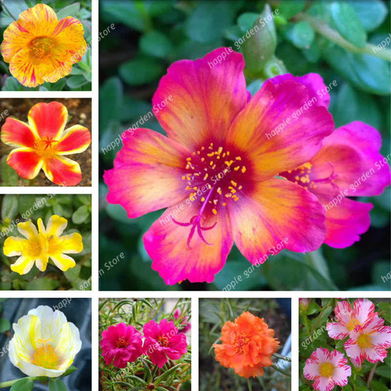 500 Pcs Exotic Portulaca Grandiflora Bonsai Moss-Rose Purslane Double Indoor Flower Potted DIY Home Garden Flower DIY Planting