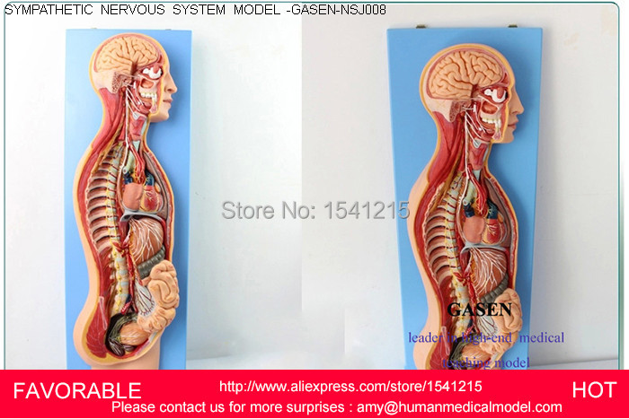 NERVOUS SYSTEM,SYMPATHETIC NERVOUS SYSTEM MODEL,HUMAN NERVOUS SYSTEM MODEL,ANATOMICAL SYMPATHETIC NERVOUS  MODEL-GASEN-NSJ008 human anatomical sympathetic nervous system anatomy medical model
