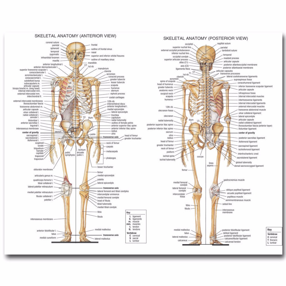 J1779 Skeletal System Anatomical Pop 14x21 24x36 Inches Silk Art