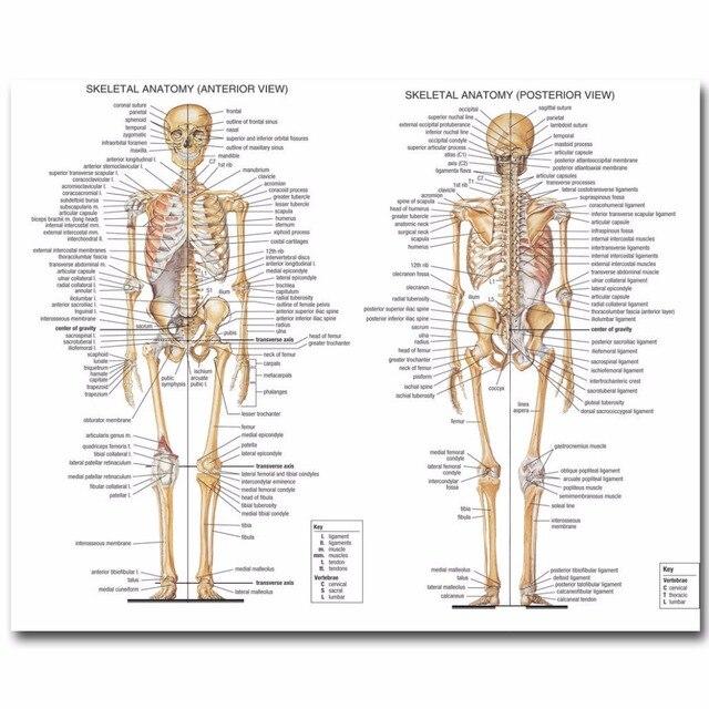 J1779 Skeletal System Anatomical Pop 14x21 24x36 Inches Silk Art ...