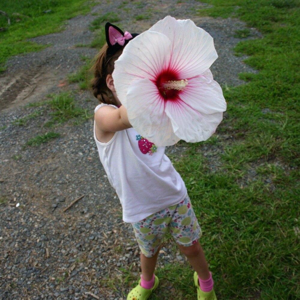 Hibiscus Blanc-Achetez des lots à Petit Prix Hibiscus Blanc en ...