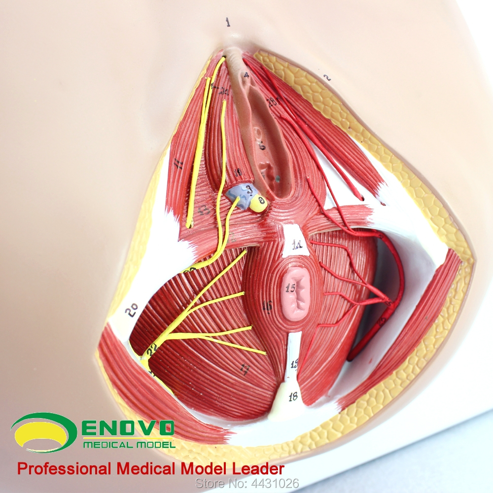 hight resolution of enovo female perineal model vascular nerve pelvic floor muscle anatomy model gynecological urology department in medical science from office school