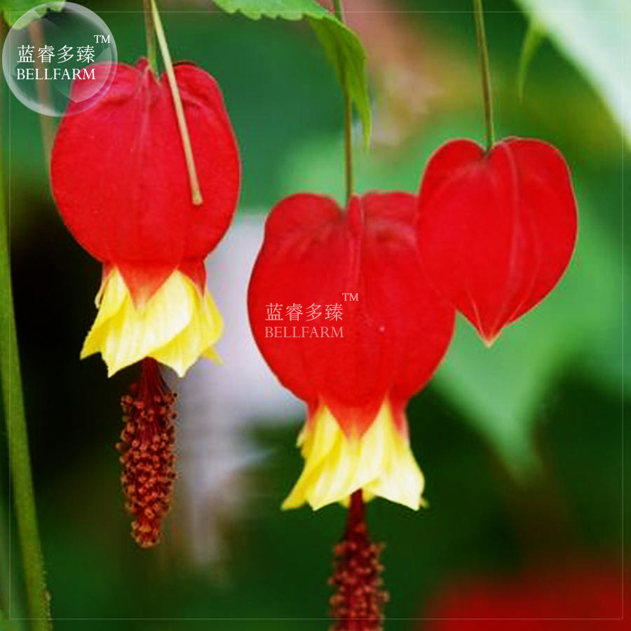 Bellfarm Bonsai Canterbury Bell Perennial Bonsai Flowers 100pcspack